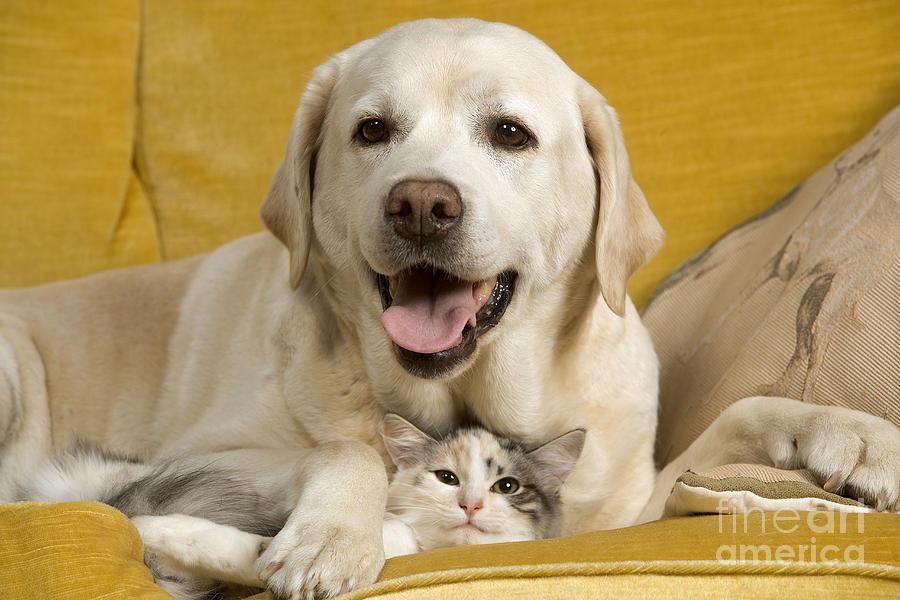 Labrador Retriever Photograph - Labrador With Cat by Jean-Michel Labat