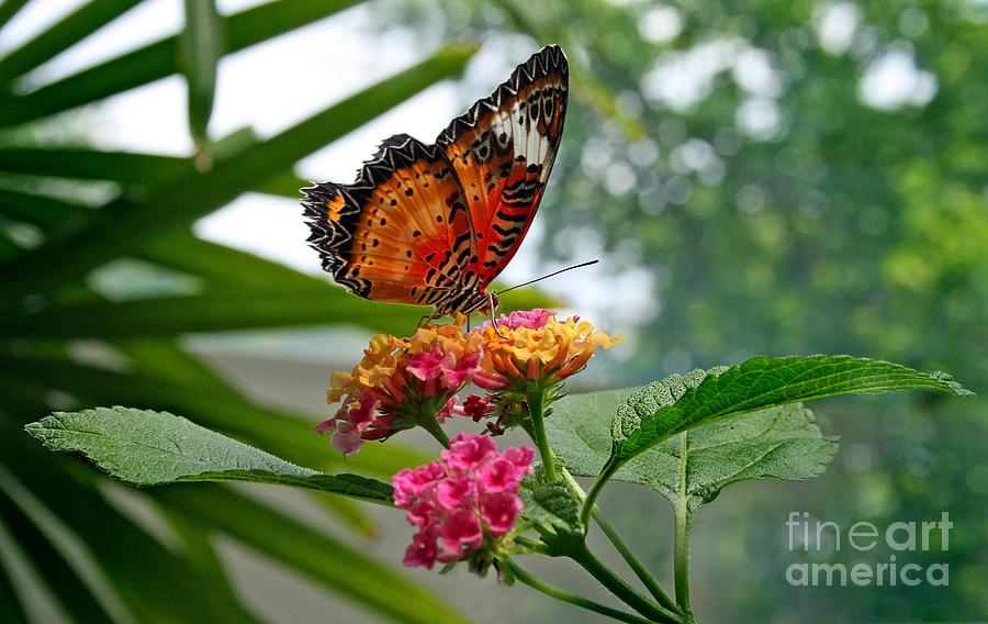 Butterfly Photograph - Lacewing Butterfly by Karen Adams