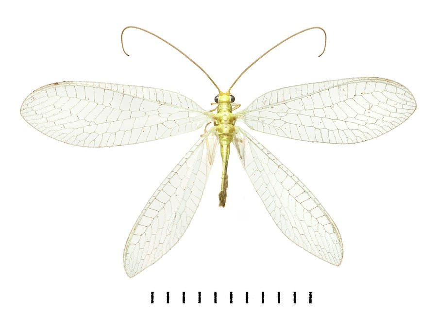 Animal Photograph - Lacewing by Natural History Museum, London