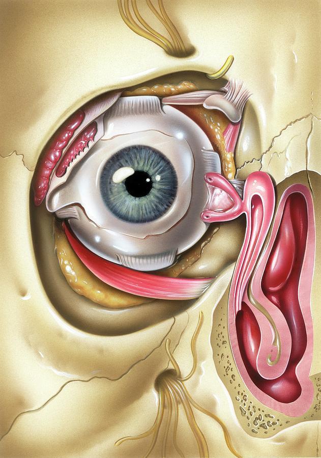 Lacrimal Apparatus Of The Eye Photograph by John Bavosi