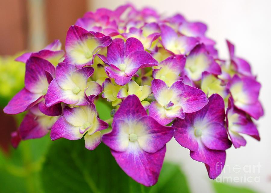 Spring Photograph - Lacy Hydrangea by Judy Palkimas