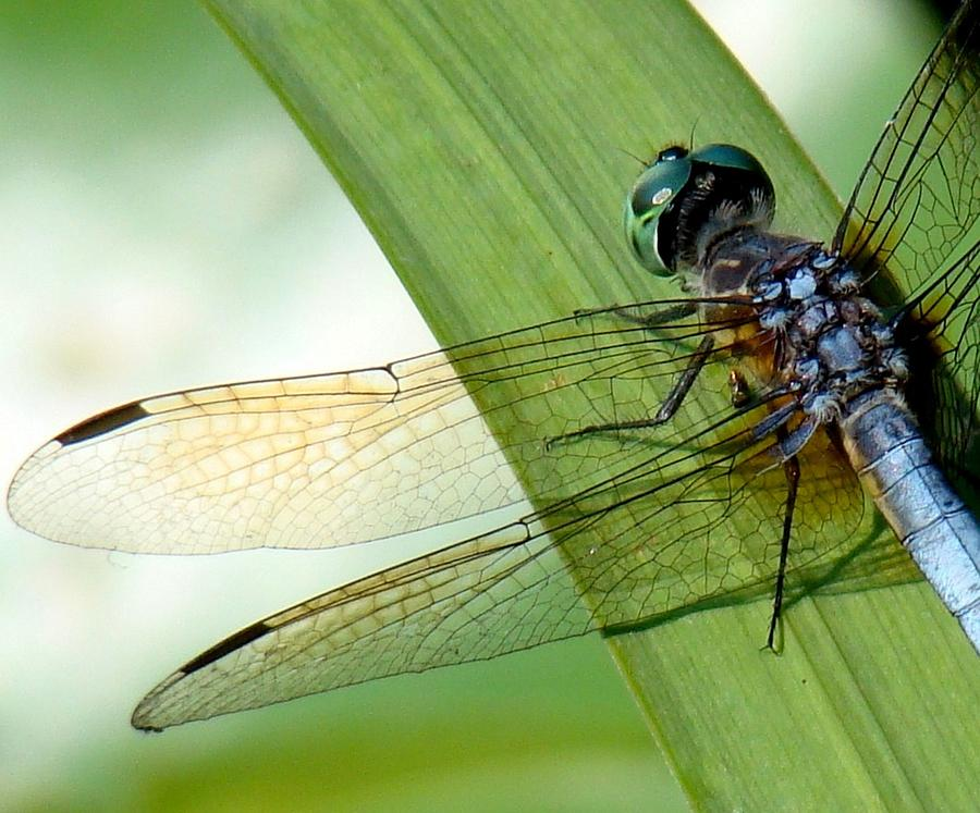 Dragonfly Photograph - Lacy Wings by Rosanne Jordan