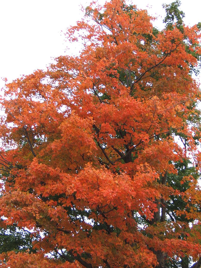 Fall Photograph - Lady Autumn - Tree by Margaret McDermott