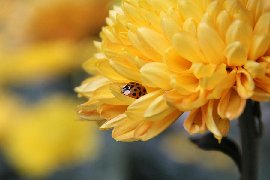 Ladybug Photograph - Lady Bug by Adrienne Franklin