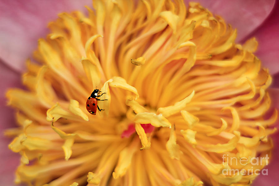 7-spot Photograph - Lady Bug by Darren Fisher