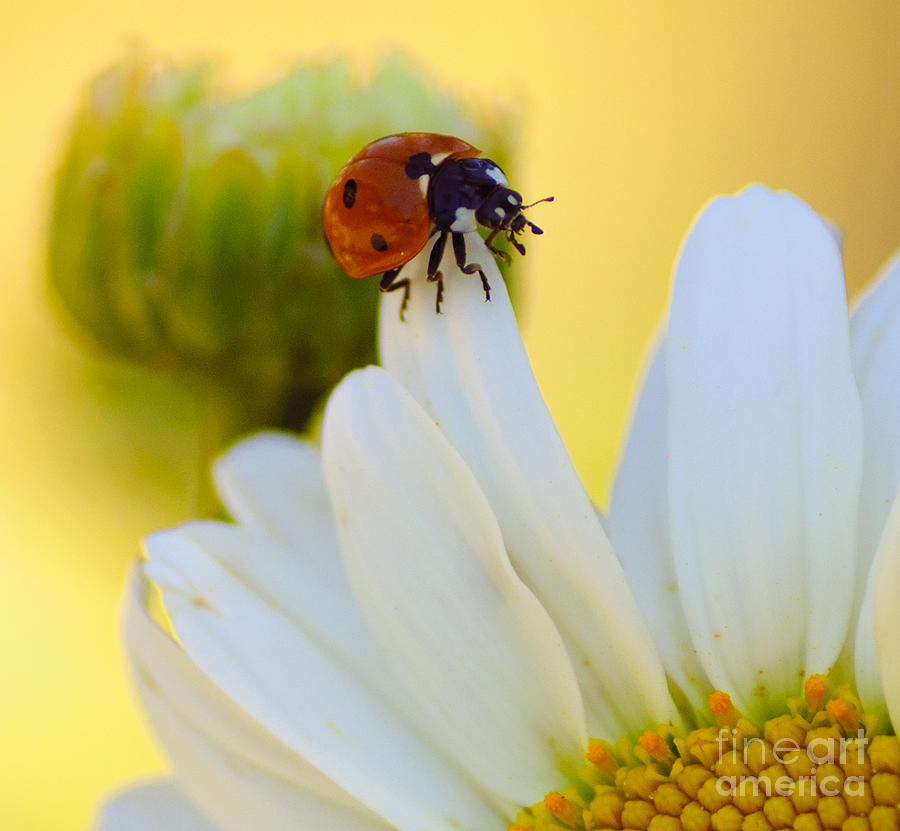 Flora Photograph - lady Bug by Scott Gould