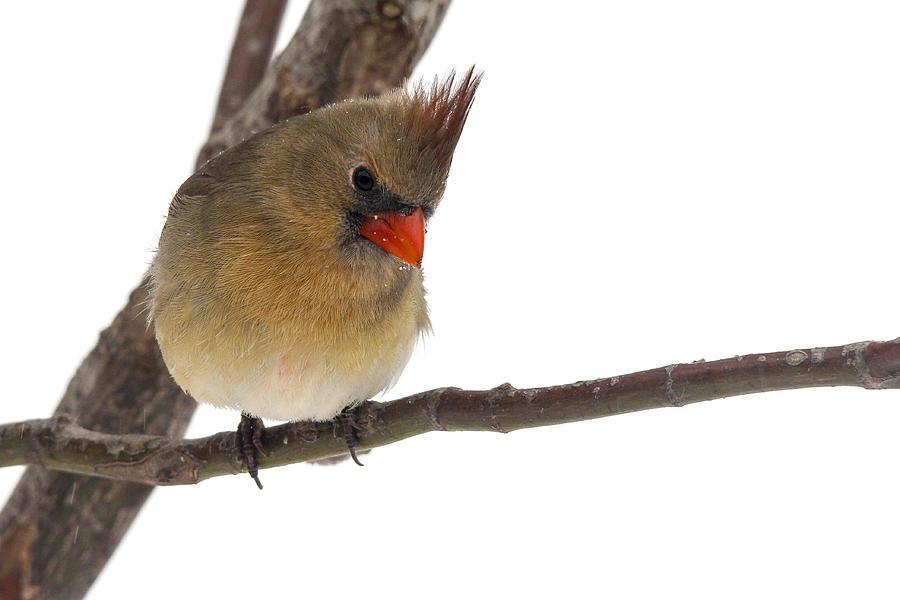 Female Cardinal Photograph - Lady Cardinal by Jill Bell