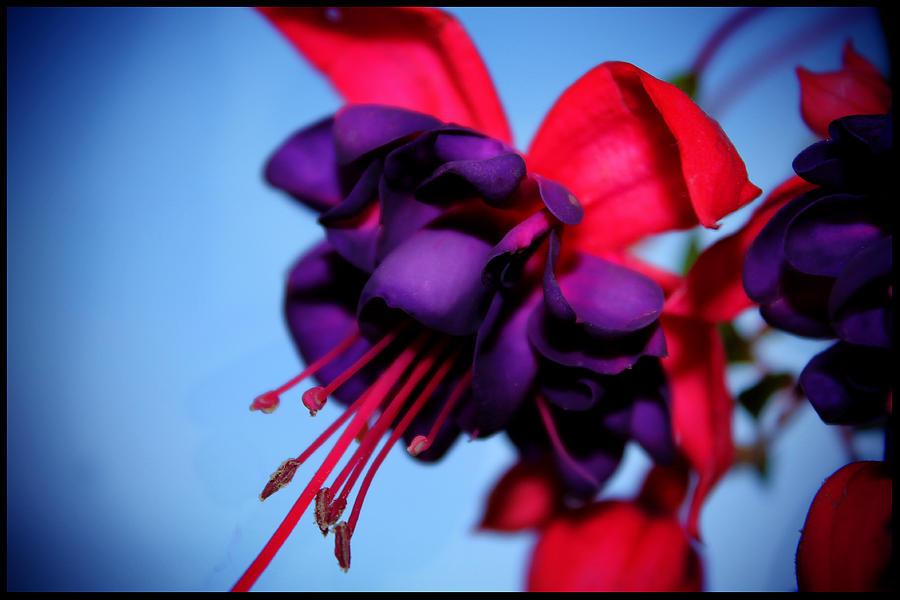 Flower Photograph - Lady Eardrops I by Aya Murrells