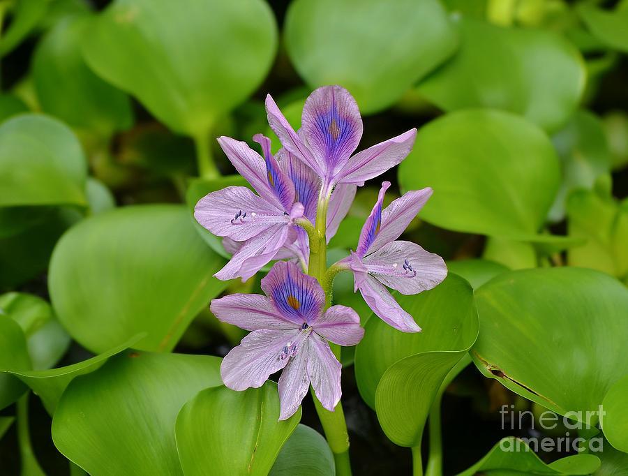 Lady Hyacinth Photograph