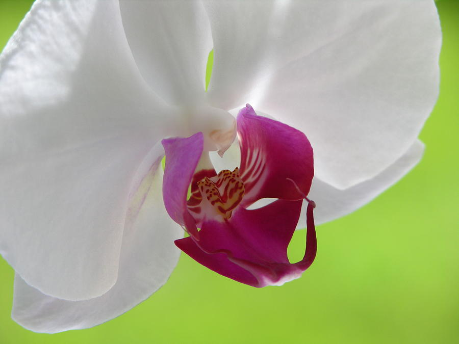 Orchid Photograph - Lady In Green by Lucy Howard