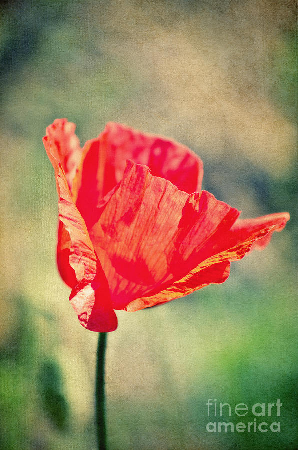 Poppy Photograph - Lady In Red by Angela Doelling AD DESIGN Photo and PhotoArt