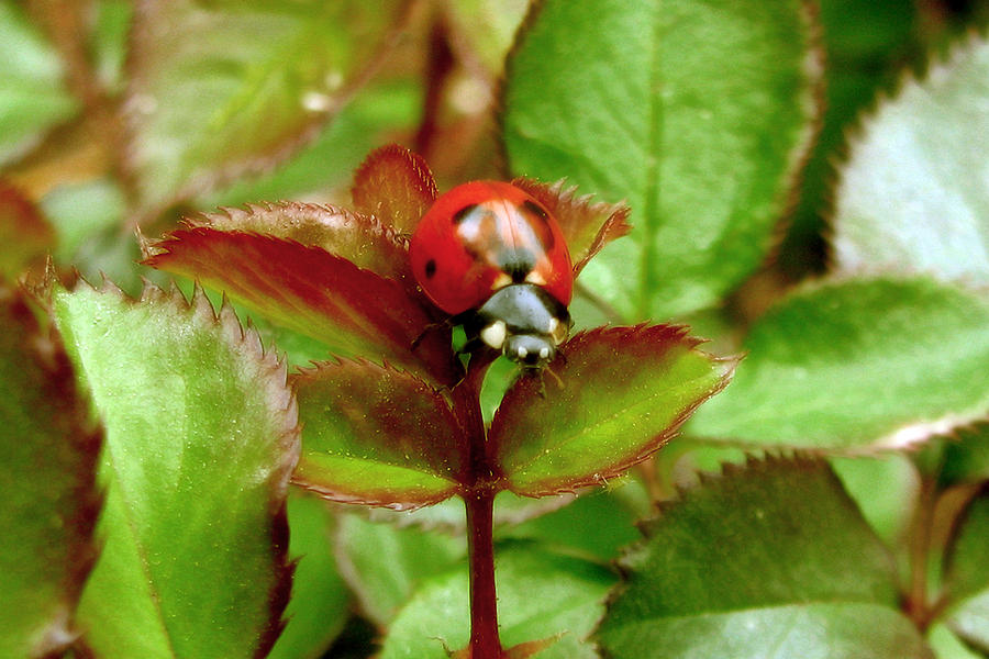 Lady Bug Photograph - Lady Rose Cleaner by Hank Lerma