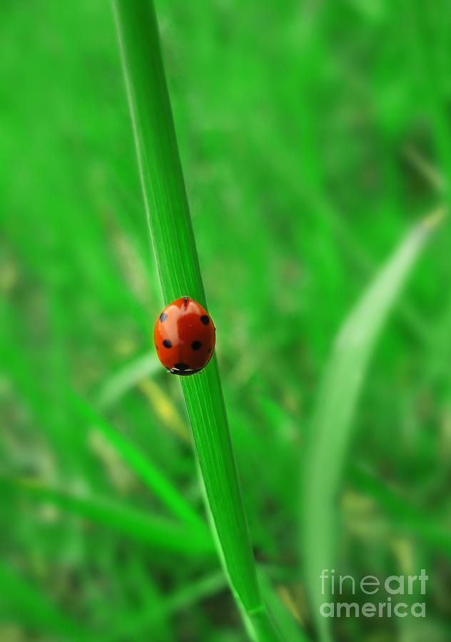 Ladybird Pyrography - Ladybird by Jelena Jovanovic