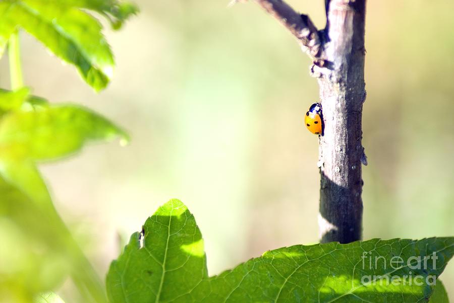 Ladybug Photograph - Ladybug 1.2777 by Stephen Parker