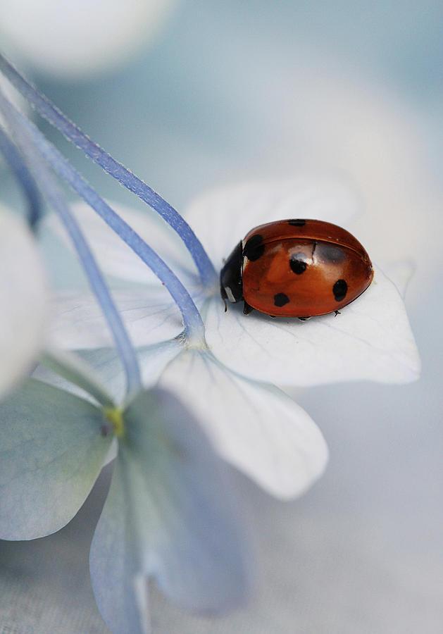 Holland Photograph - Ladybug by Ellen Van Deelen