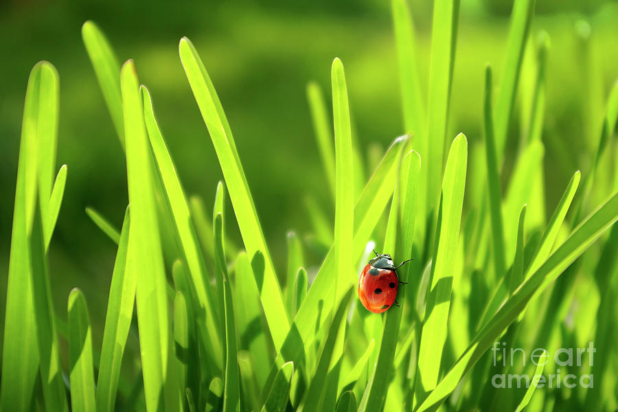 Autumn Photograph - Ladybug in Grass by Carlos Caetano