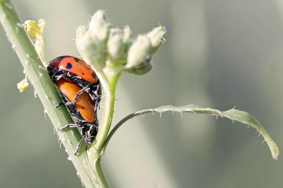 Ladybugs Photograph - Ladybug Love by Shoal Hollingsworth