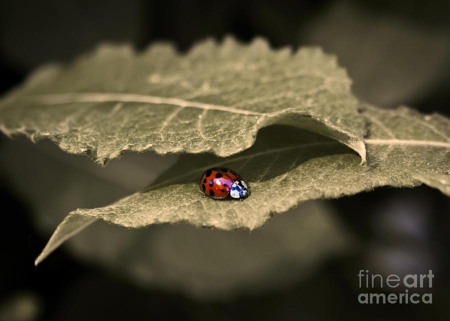 Ladybug Photograph - Ladybug by Nora Blansett