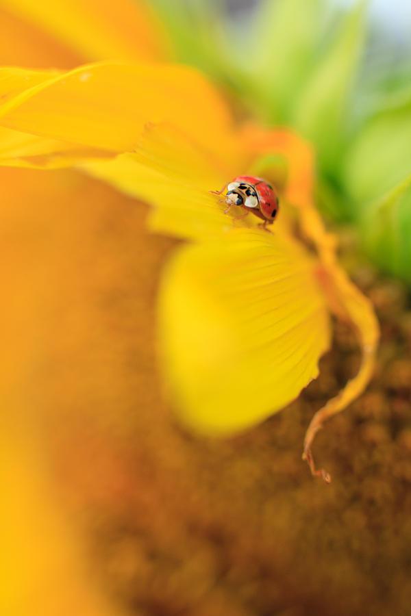 Ladybug Photograph - Ladybug by Rebecca Skinner