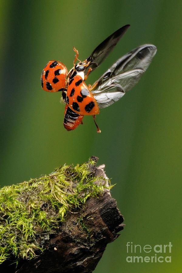 Ladybird Photograph - Ladybug Taking Off by Scott Linstead