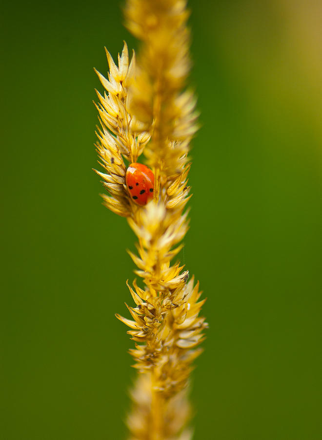 Insect Photograph - Ladybug Tucked In by Sarah Crites