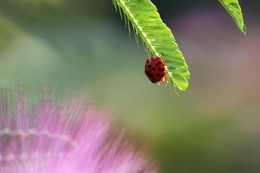 Macro Photograph - Ladybug With Mimosa by Jason Politte