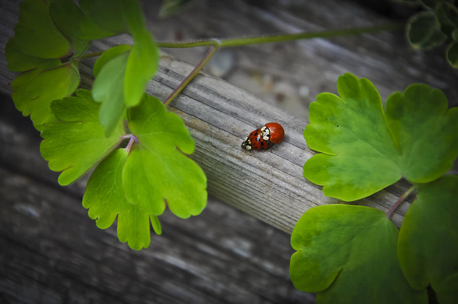 Animal Photograph - Ladybugs Mating by Aged Pixel