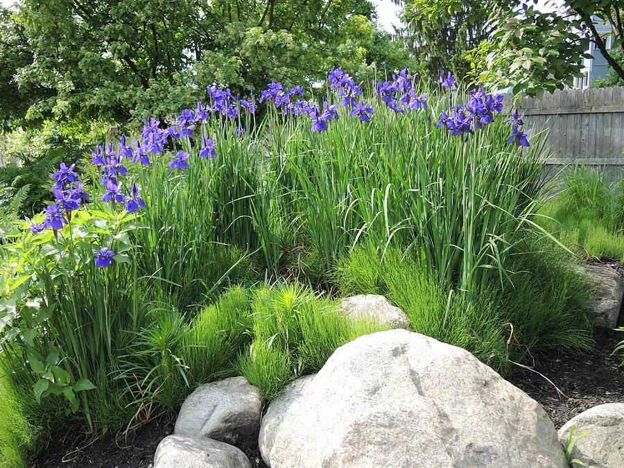 Irises Photograph - Lake George Irises by Chrissey Dittus