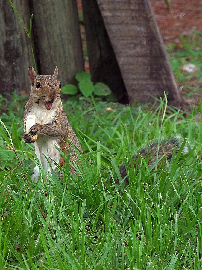Animal Photograph - Lake Howard Squirrel 000 by Chris Mercer