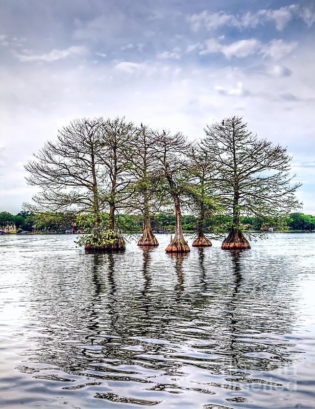 Lake Maitland Photograph - Lake Maitland Cypress by Anthony Festa