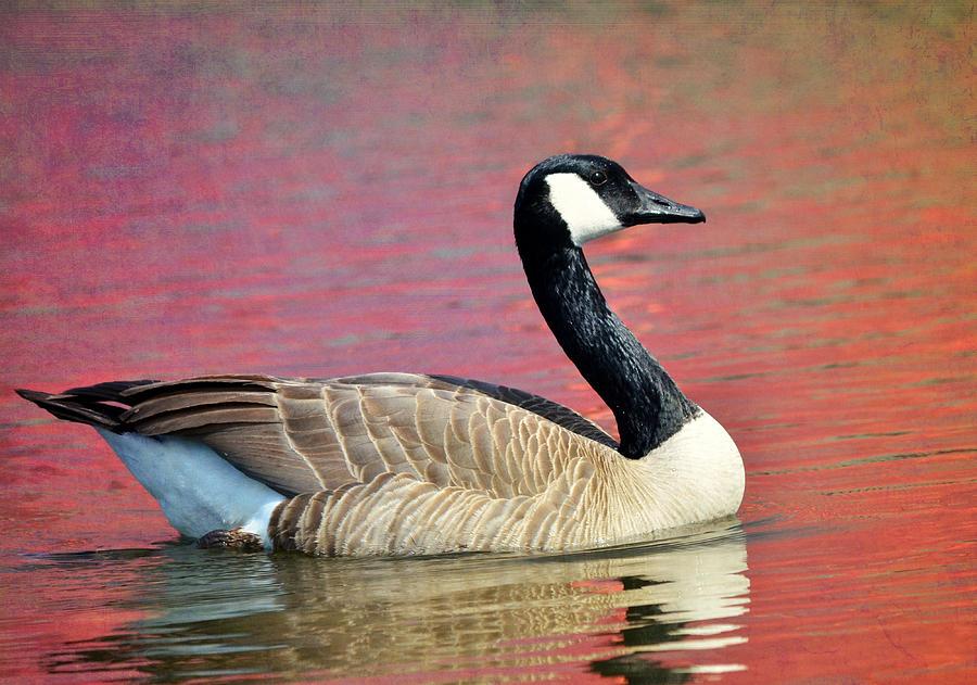Canada Geese Photograph - Lake Placid by Fraida Gutovich