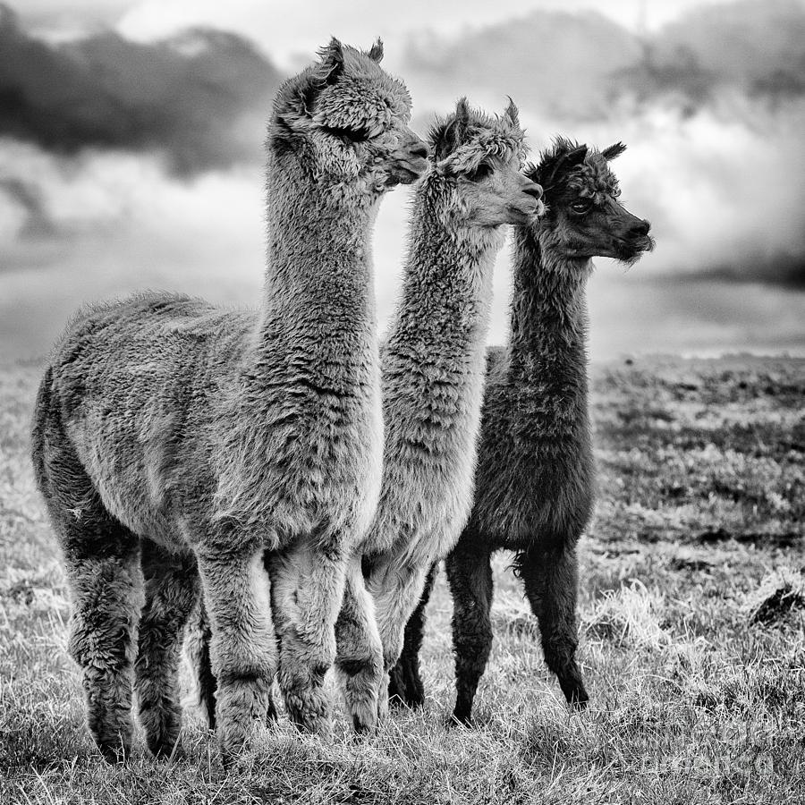 Lama Lineup Photograph By John Farnan