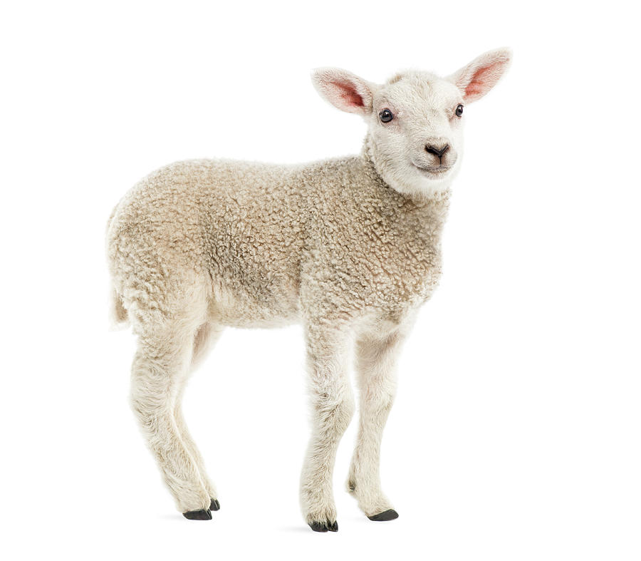 Lamb 8 Weeks Old Isolated On White Photograph by Life On White
