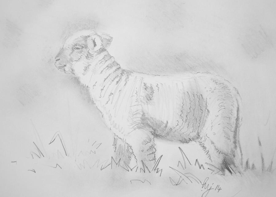 Lamb Drawing Drawing By Mike Jory