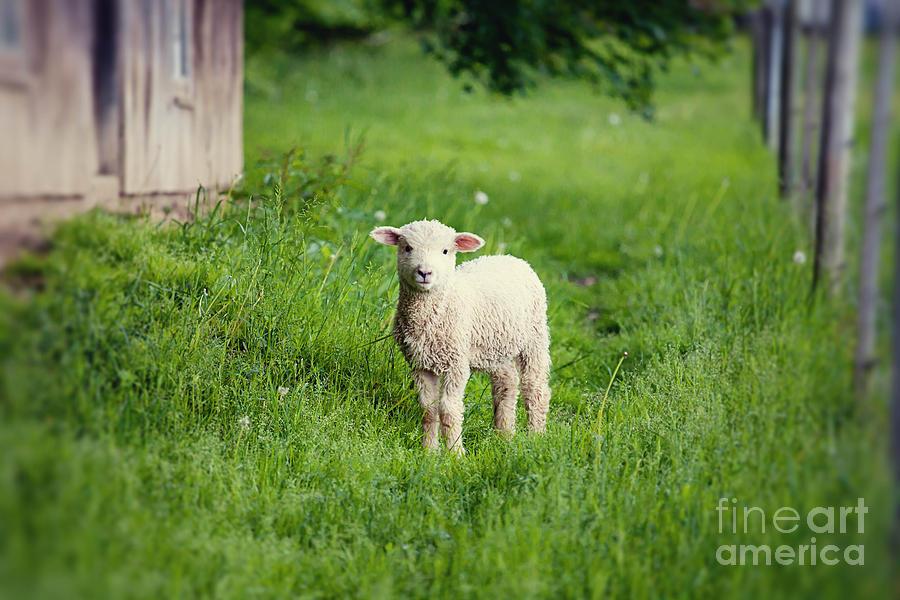 Lamb I Photograph