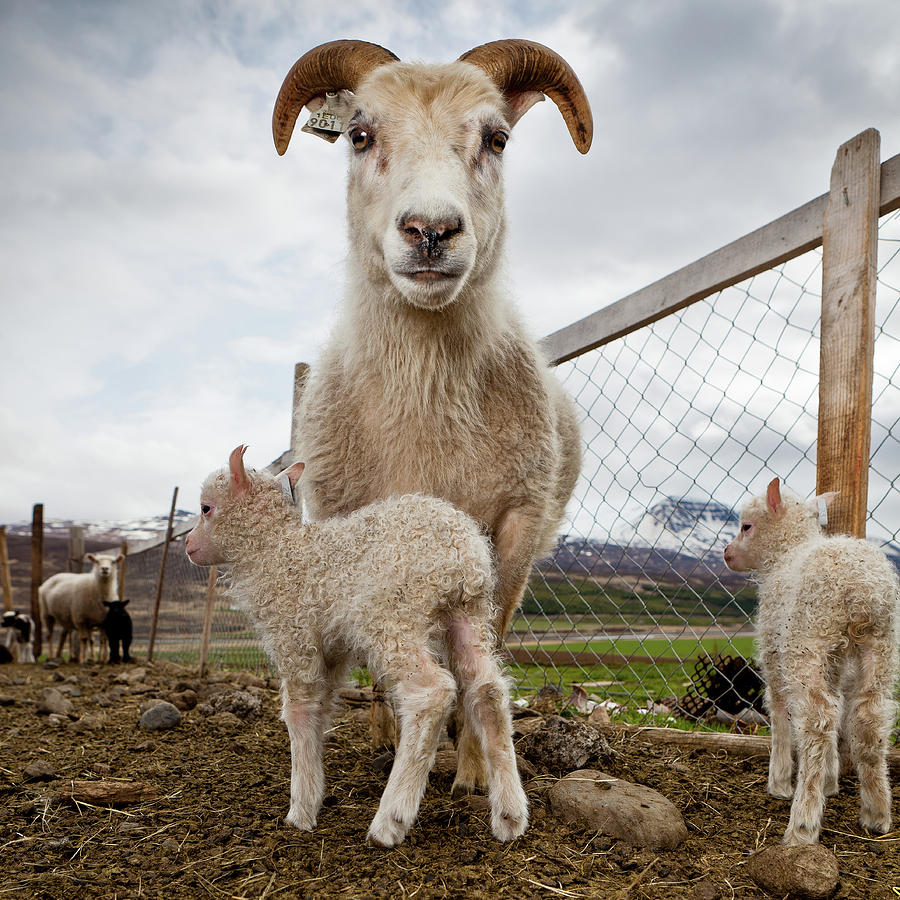Horizontal Photograph - Lamb On A Farm, Iceland by Panoramic Images