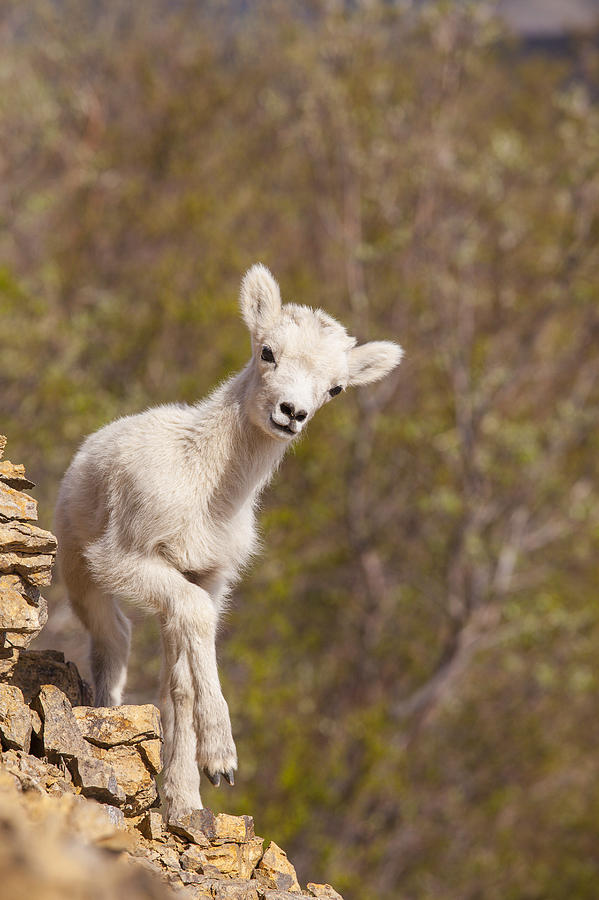 Alaska Photograph - Lamb on the Rocks by Tim Grams