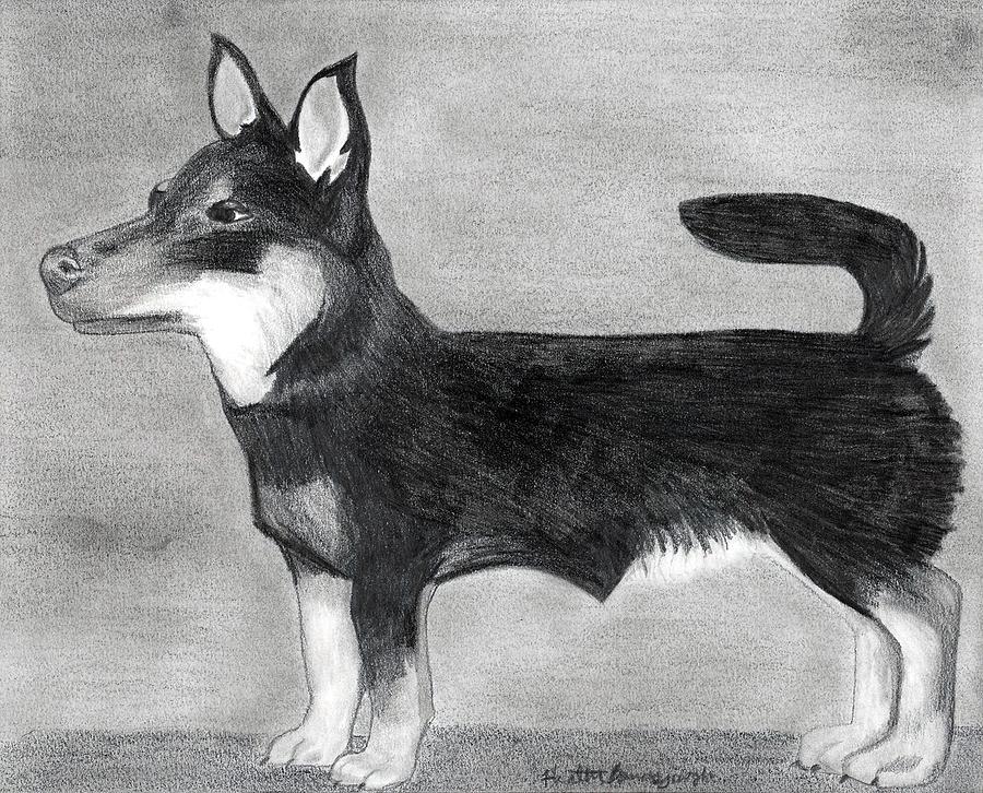 Lancashire Heeler Dog Portrait  Drawing by Olde Time  Mercantile