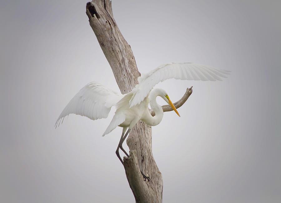 Egret Photograph - Landing by Kim Hojnacki