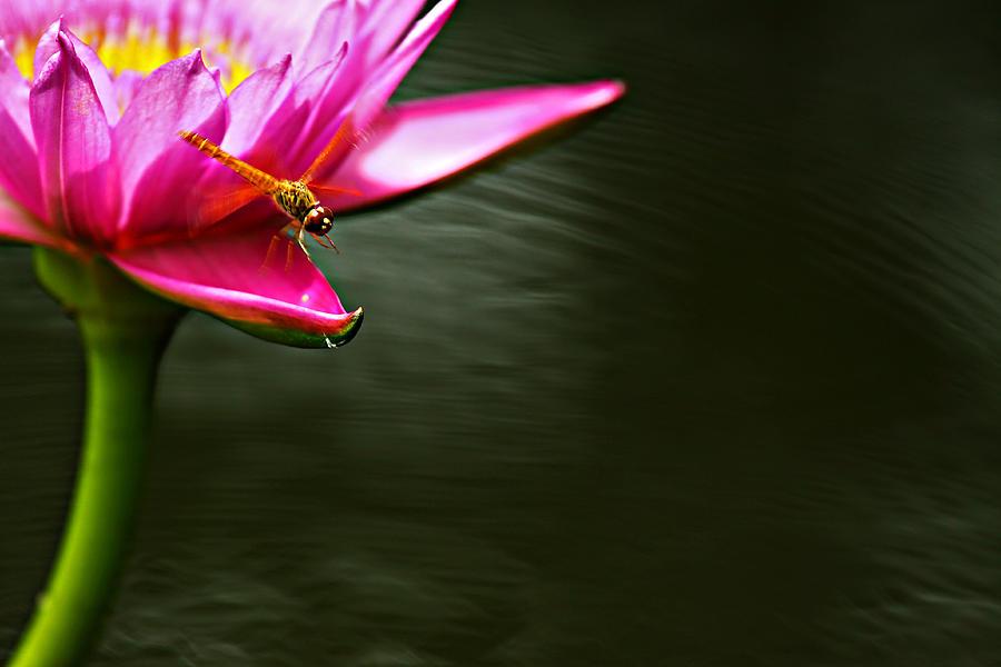 Dragonfly Photograph - Landing by Suradej Chuephanich