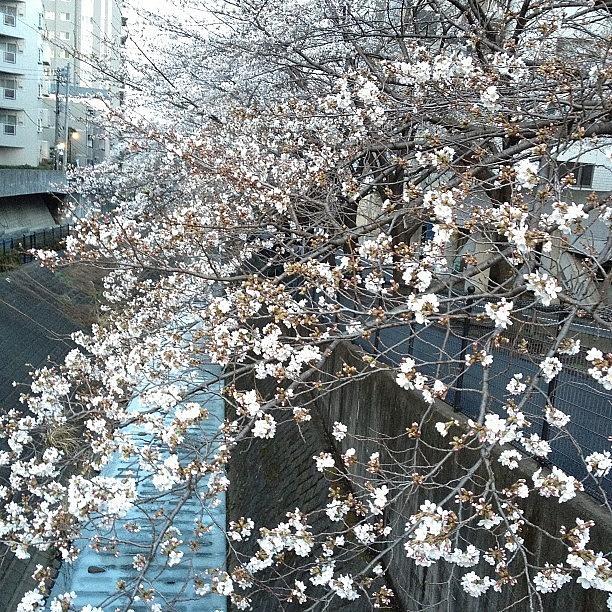 Landscape Photograph - #landscape #cherryblossom by Tokyo Sanpopo