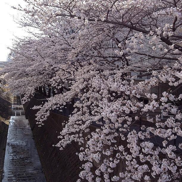 Landscape Photograph - #landscape #cherryblossom 幸せ~ by Tokyo Sanpopo