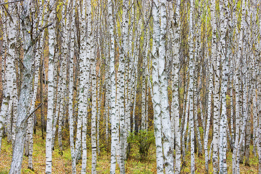Landscape Of Birch Forest Photograph by Keren Su