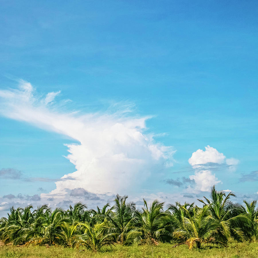 Landscape With Young Coconut Trees Photograph by Peeterv