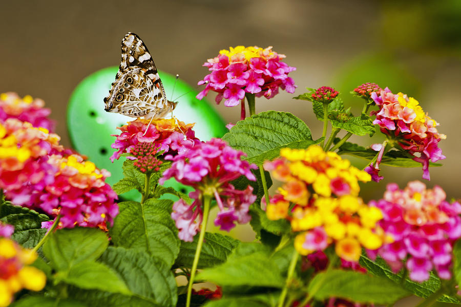 Flower Photograph - Lantana With Butterfly by Dennis Coates