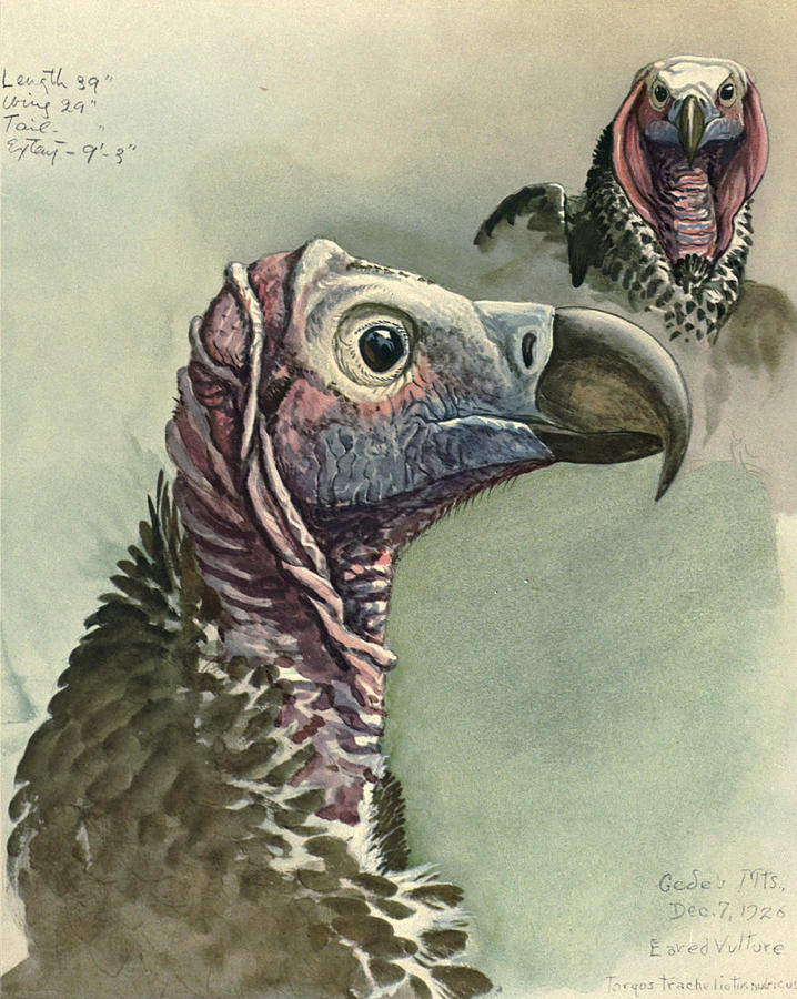 Lappet Faced Vulture Painting - Lappet Faced Vulture by Dreyer Wildlife Print Collections