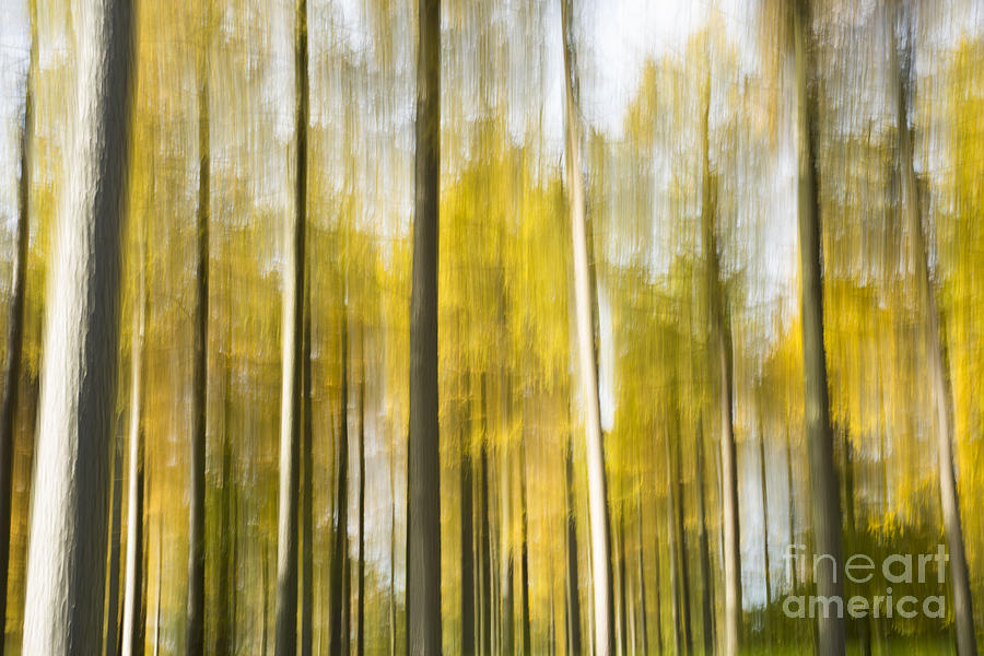 Abstract Photograph - Larch Grove Blurred by Anne Gilbert