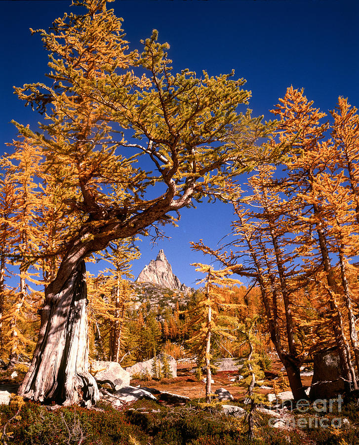 Alpine Lakes Wilderness Photograph - Larch Trees Frame Prusik Peak by Tracy Knauer