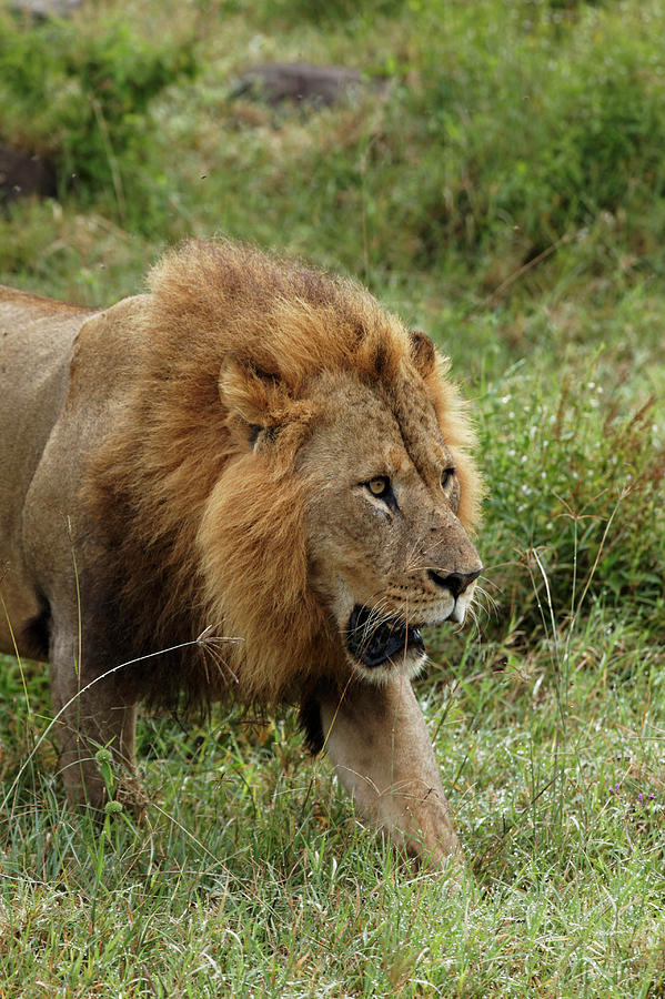 Adam Jones Photograph - Large Adult Male Lion, Lake Nakuru by Adam Jones