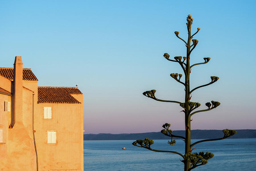 Large Agave Flower In Old Adriatic Town Photograph by Miha Pavlin